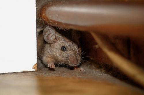 Какой запах не любят мыши и крысы. Чего крысы действительно боятся и не любят