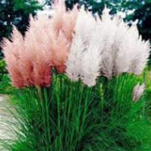 Декоративная трава голубого цвета. Декоративная трава для сада с фото и названиями